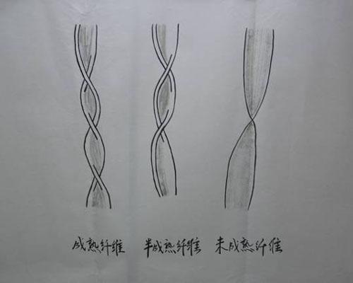 杜仲的形态结构展示